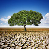 Tree On Dry Land. Single olive tree planted in the center of a dry and cracked soil Royalty Free Stock Images