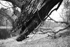 Tree dry and old roots. Royalty Free Stock Photos