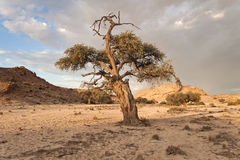 Tree in a dry riverbed, Namibia Stock Image