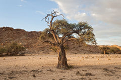 Tree in a dry riverbed, Namibia Royalty Free Stock Image