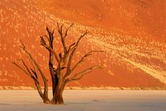 Tree and dune, Namibia Royalty Free Stock Images