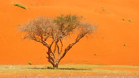 Tree and Dune. A tree with a red dune backdrop in Wadi Sumayni in Oman - close to the border with the UAE Stock Photos