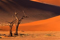 Tree and dune, Sossusvlei, Namibia. Dead camel thorn tree (Acacia erioloba) and dune, late afternoon, Sossusvlei, Namibia, southern Africa Royalty Free Stock Photography