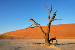 Tree and dune, Sossusvlei, Namibia. Dead Acacia tree against a red sand dune and blue sky, Sossusvlei, Namibia, southern Africa Stock Photo