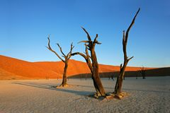 Tree and dune, Sossusvlei, Namibia. Dead Acacia tree against a red sand dune and blue sky, Sossusvlei, Namibia, southern Africa Royalty Free Stock Photos