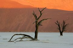 Tree and dune, Sossusvlei, Namibia. Dead Acacia tree against a red sand dune, Sossusvlei, Namibia, southern Africa Stock Photo