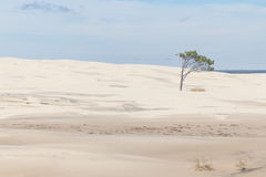 Tree on the dunes at Lagoa do Peixe National Park royalty free stock photography