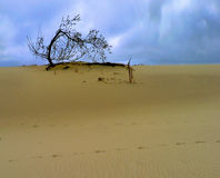 Tree in the Dunes. A natural shot of a tree in the dunes Royalty Free Stock Photos