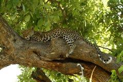 Free Tree Dwelling Sleepy Big Cat Royalty Free Stock Photography - 43138307