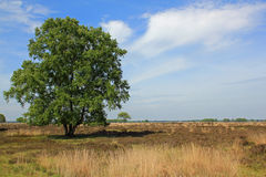 Tree at Dwingelderveld, National park, in Drenthe in the Netherlands. Dwingelderveld, heathland, field in Drenthe with trees grasses and heath. The Netherlands Stock Photo