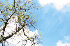 Tree in early spring. Bottom view. Young leaves on a tree in early spring. Bottom view Royalty Free Stock Image