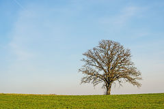 Tree in early spring Royalty Free Stock Images