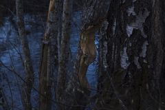 Tree eaten by beavers, next to a river in northern Sweden. River visible in the background, birch tree next to the eaten tree. stock photos