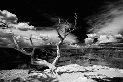 Tree on the edge of the Grand Canyon Stock Photography