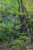 Tree on the edge of a ravine. In autumn forest Stock Photos