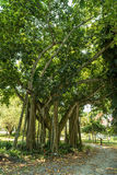 Tree in Edison and Ford Winter Estates Park in Fort Myers, Florida. Royalty Free Stock Photography