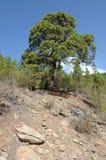 Tree in El Teide National Park, Tenerife Royalty Free Stock Photography
