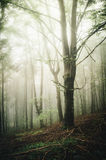 Tree in enchanted foggy forest Stock Images