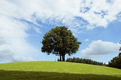 Tree in English meadow. In summer landscape Stock Photo