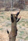 Tree engraftment Royalty Free Stock Photo