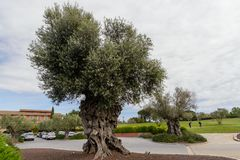 The tree of eternity: The olive, known by the botanical name Olea europaea. Meaning `European olive`, is a species of small tree in the family Oleaceae. This stock photos