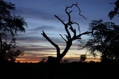 Tree in the evening. Tree in botswana Stock Photos