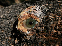 Tree eye Royalty Free Stock Images