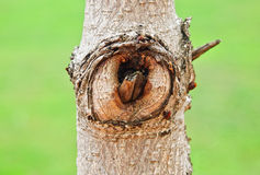 The tree eye Stock Photography