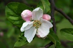 tree för äppleblomningclose upp Fotografering för Bildbyråer