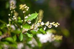tree för äppleblomningclose upp Royaltyfri Fotografi