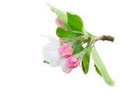 tree för äppleblomningclose upp arkivfoton