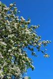 tree för äppleblomningclose upp Royaltyfri Bild