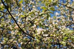 tree för äppleblomningclose upp royaltyfria bilder