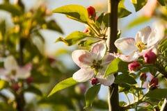 tree för äppleblomningclose upp Royaltyfri Foto