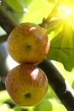 tree för äpplefruktsolljus Arkivfoton