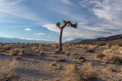 tree för ökenjoshua lone mojave fotografering för bildbyråer