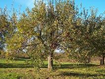 tree för 2 äpple arkivfoton