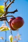 tree för 2 äpplen Arkivfoton