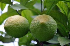 tree för 2 citron Royaltyfri Bild