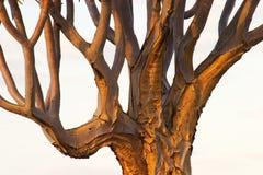 tree för 2 darrning Arkivfoton