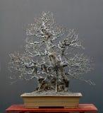 tree för 3 bonsai Arkivfoton