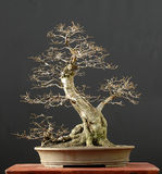 tree för 4 bonsai Royaltyfria Foton