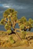 tree för 4 joshua Arkivbilder