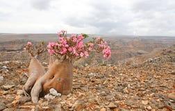 tree för adeniumflaskobesum royaltyfri bild