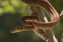 tree för amazon boaconstrictor Fotografering för Bildbyråer