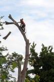 tree för arboristcuttingföljd Arkivbild
