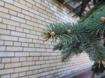 tree för avstånd för gran för filialkottekopia vänster Royaltyfria Foton
