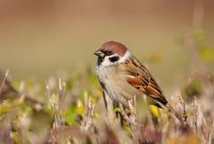 tree för badsparrowsun Arkivbilder