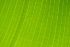 tree för banandetaljleaf Arkivfoto