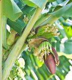 tree för banangruppträdgård Arkivbild